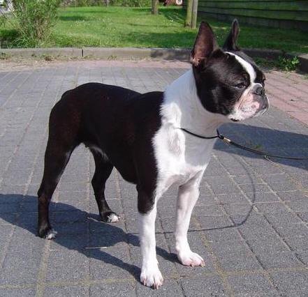 boston terrier pups nederland